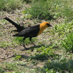 Photo of a yellow-headed blackbird