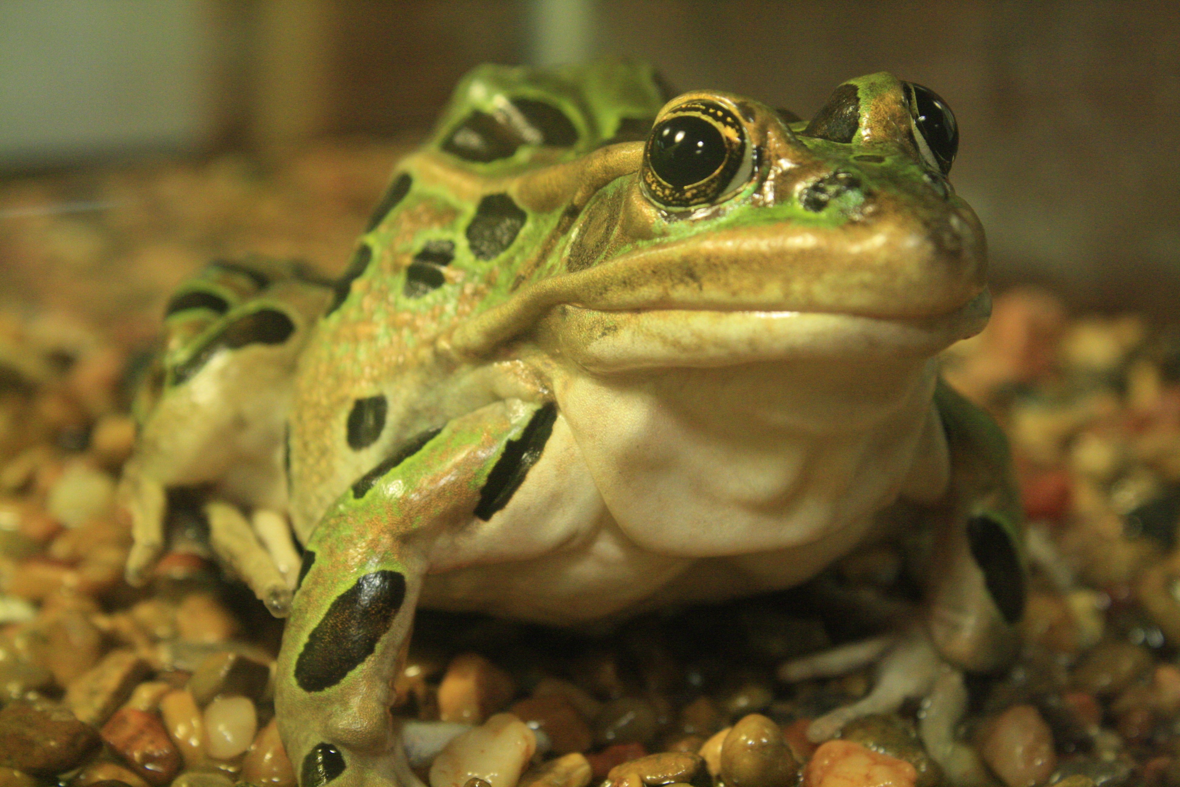 Photo of a northern leopard frog