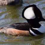 Photo of a hooded merganser duck