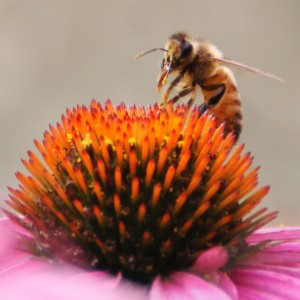 Photo of a honeybee on a purple coneflower