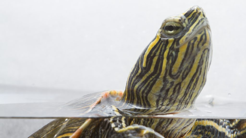 Photo of a painted turtle