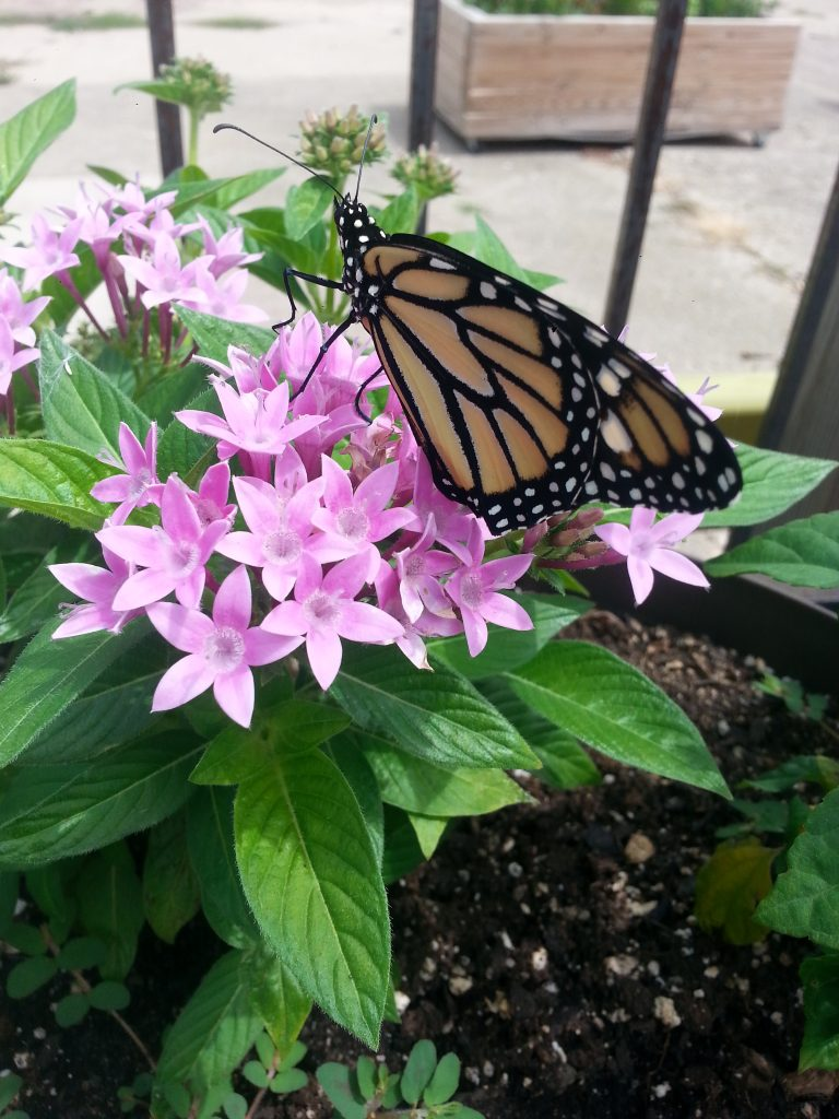Photo of a monarch on a flower