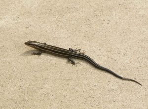 Photo of a five-lined skink