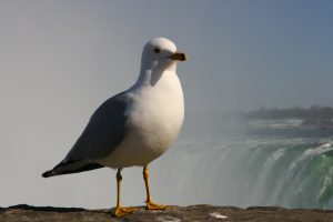 Photo of a ring-billed gull