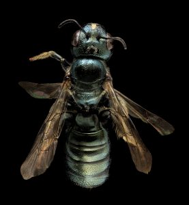Photo of carpenter bee