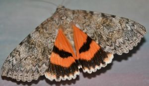 Photo of a sweetheart underwing