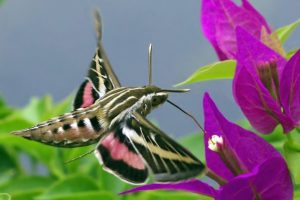 Photo of a white-lined sphinx moth