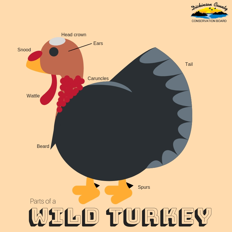 Graphic about turkey body parts