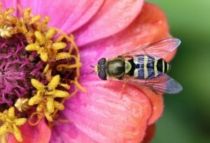 Photo of a hover fly
