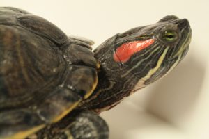 Photo of a red-eared slider