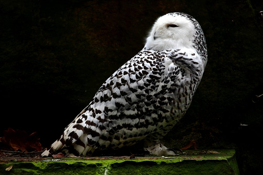 Photo of a snowy owl