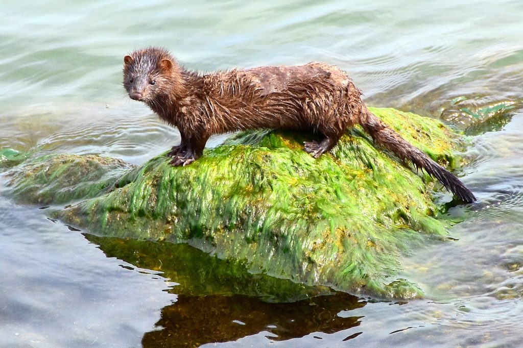 Photo of a mink