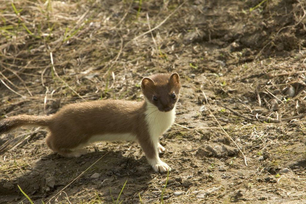 Photo of a short-tailed weasel