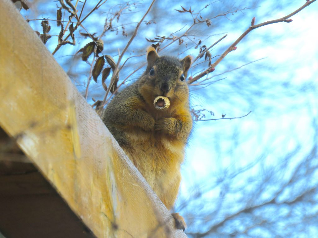 Photo of a squirrel with a nut in its mouth