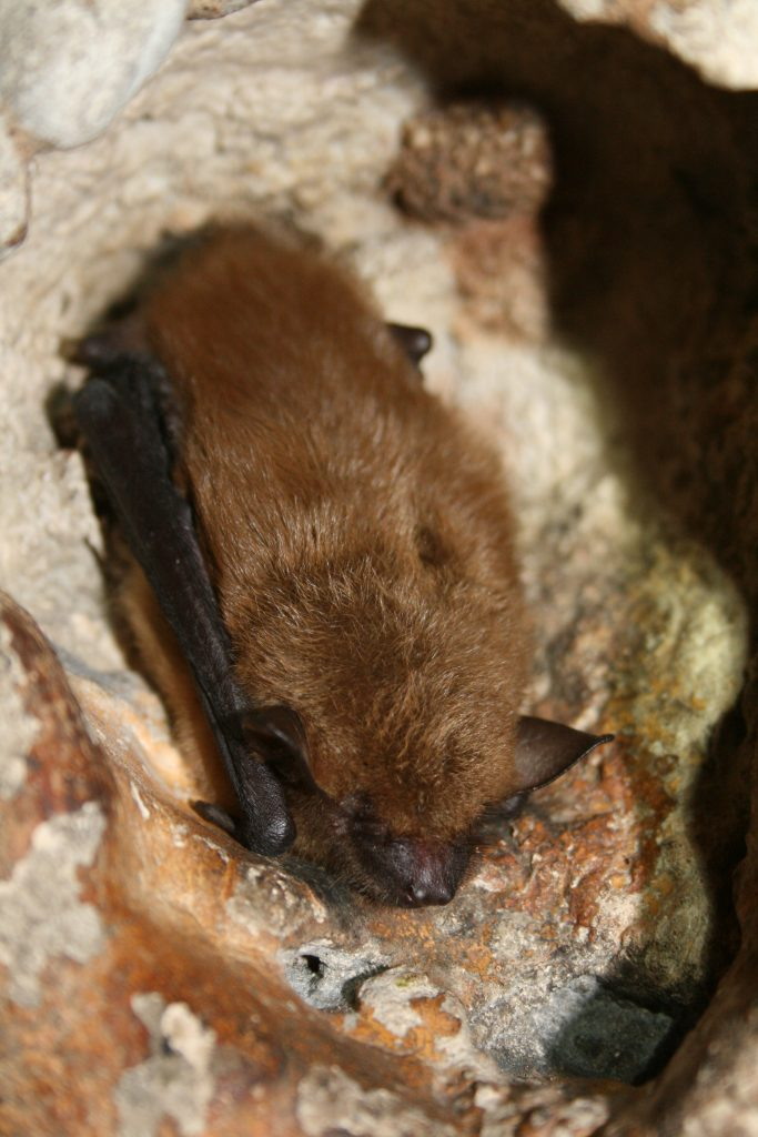Photo of a big brown bat