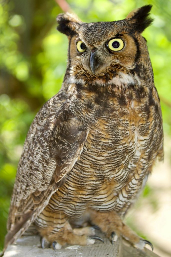 Photo of a great-horned owl