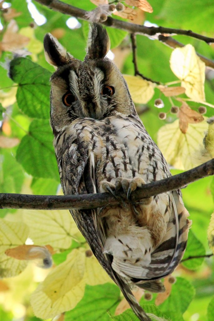 Photo of a long-eared owl on a tree branch
