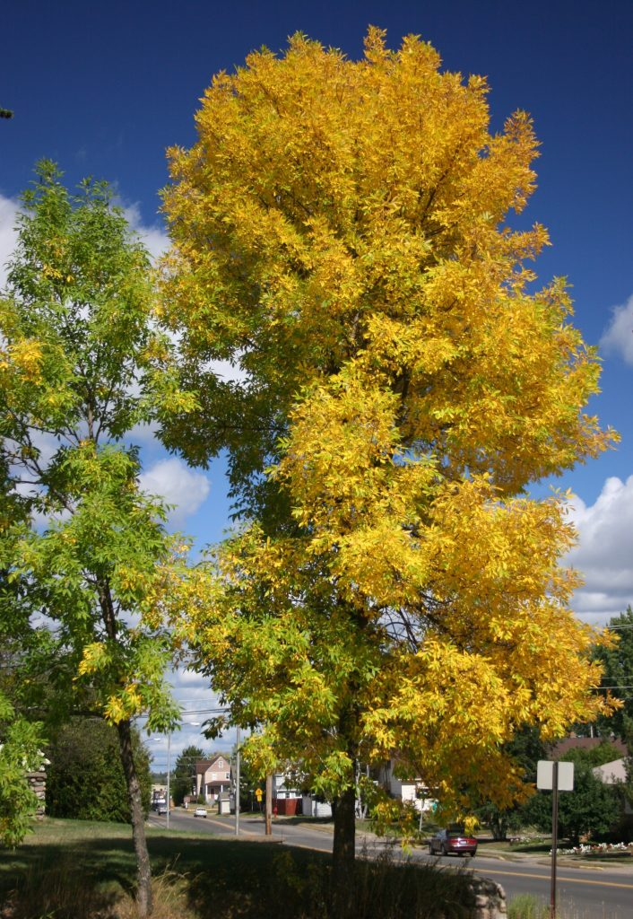 Photo of a green ash in fall