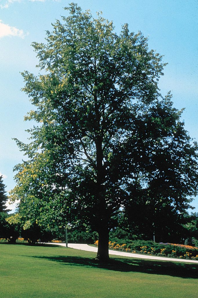 Photo of basswood tree