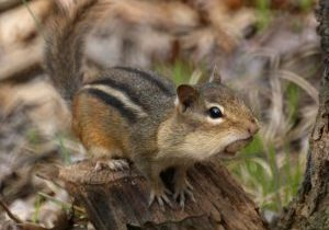 Photo of a chipmunk