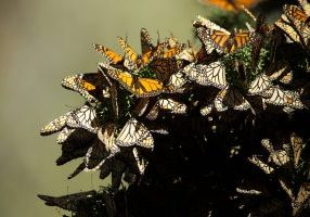 Photo of roosting monarch butterflies