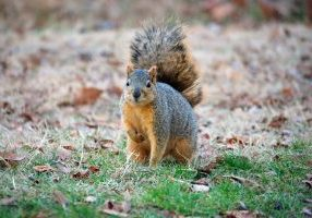 Photo of a fox squirrel